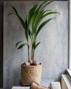 Zayn XXXS, Bamboo ∅31 ↑33