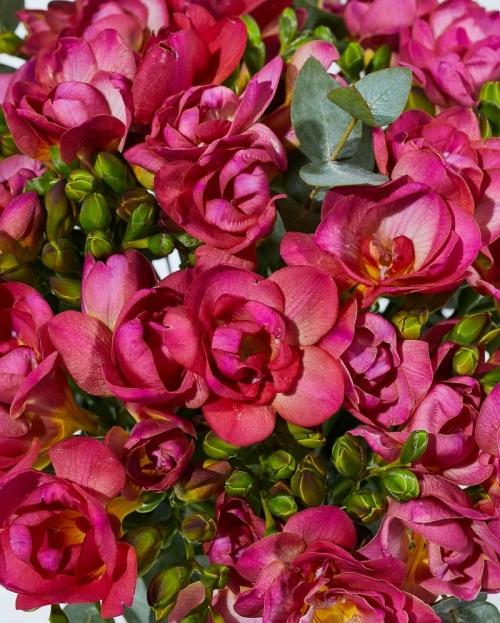 Buchet 25 frezii rosii