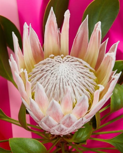 Buchet protea roz