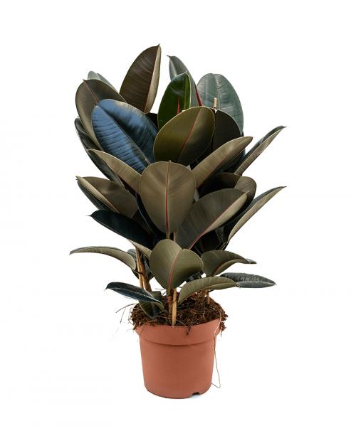 Ficus Elastica 70 cm
