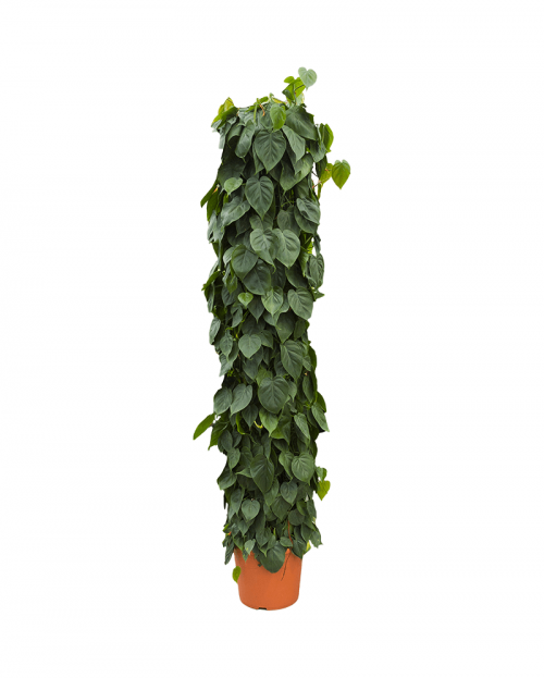 Philodendron Scandens 200 cm