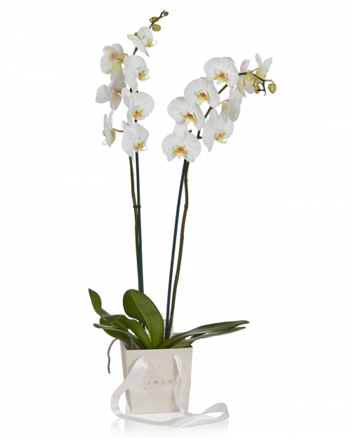 Planta phalaenopsis alba