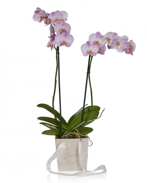 Planta phalaenopsis roz