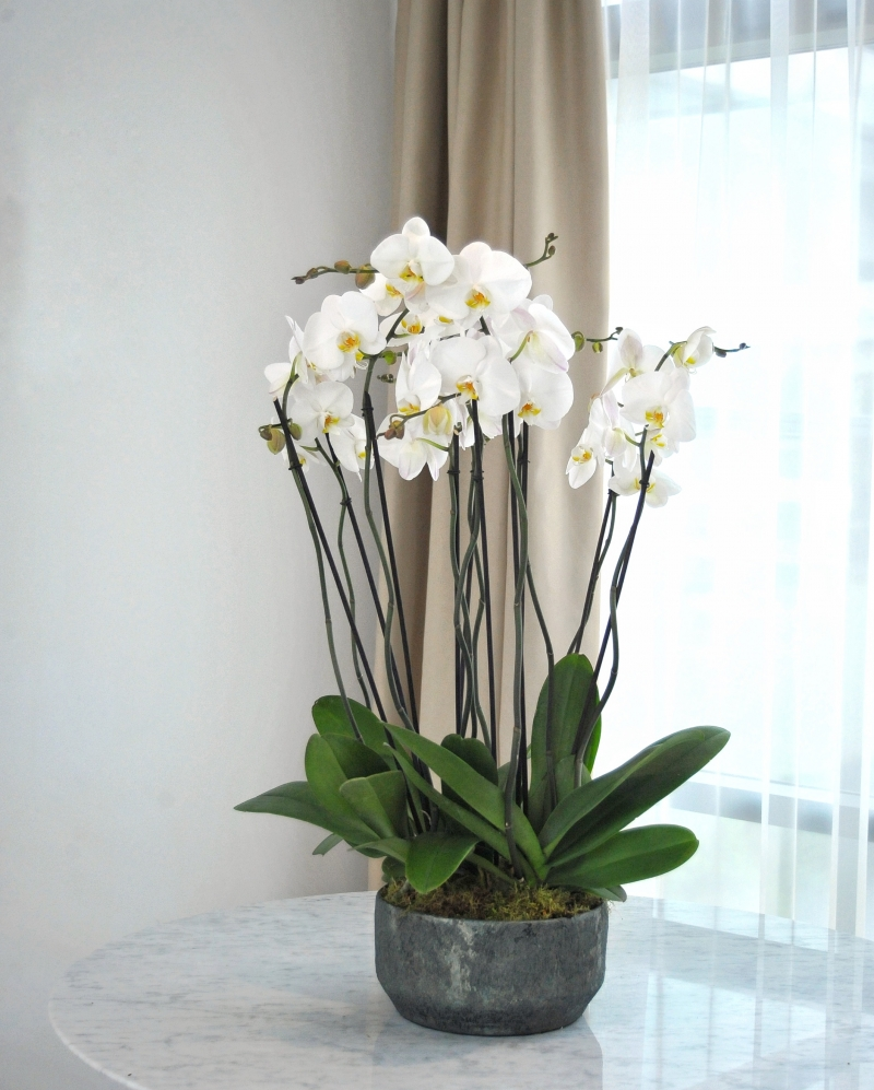 Aranjament cu plante phalaenopsis