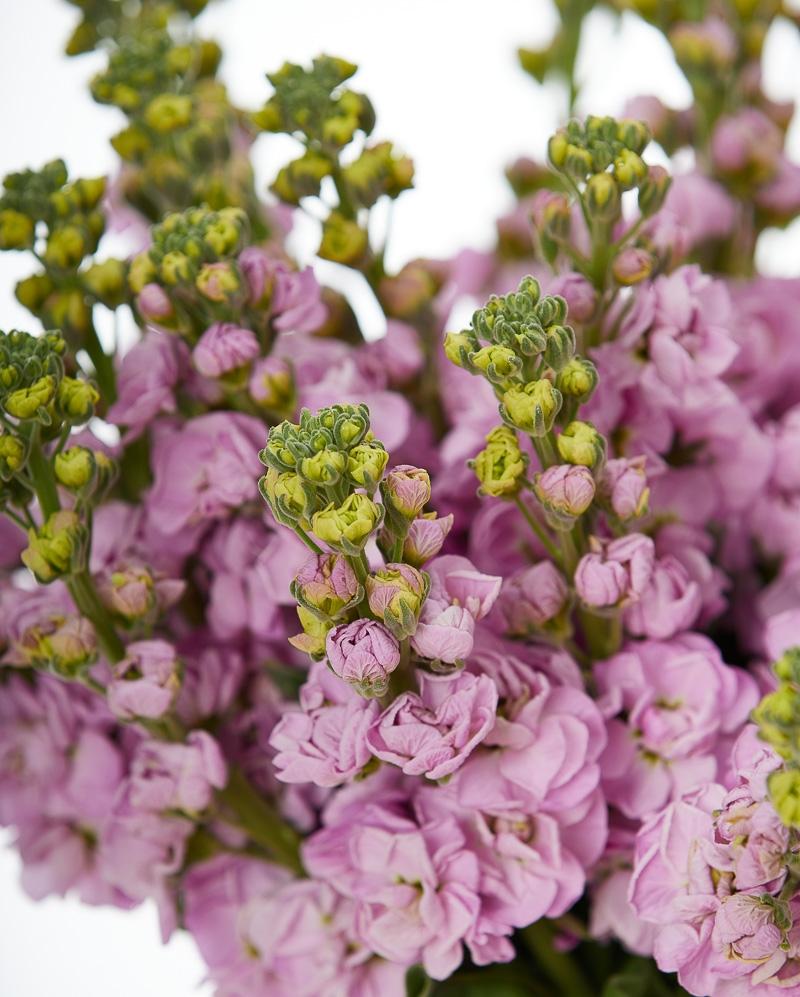 Buchet 25 matthiola roz