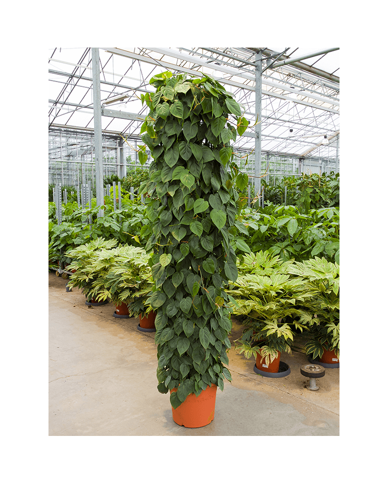 Philodendron Scandens 220 cm