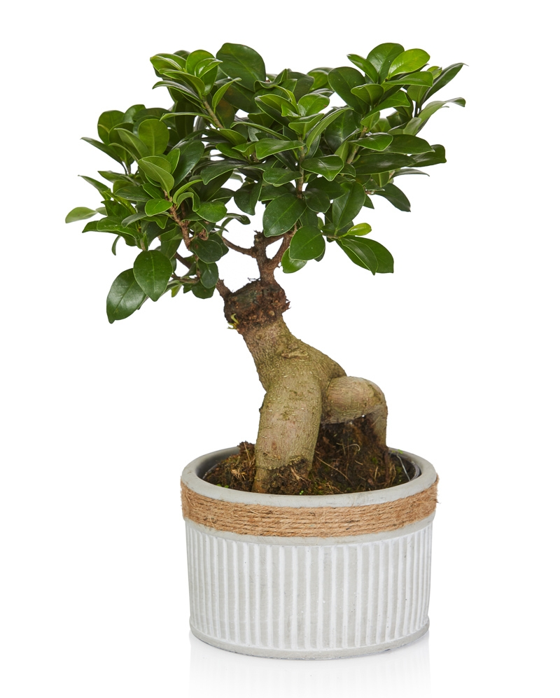 Planta Bonsai Ficus 40 Cm